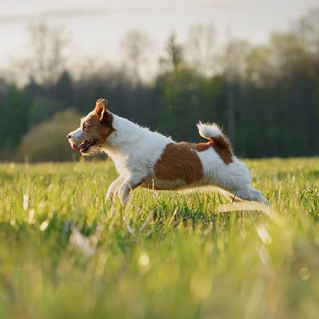 Jack Russell Terrier running through a field