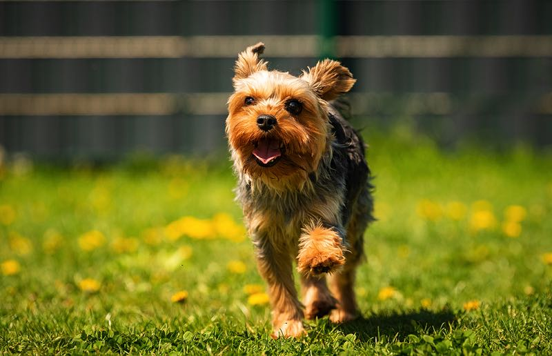 Yorkshire Terrier outside