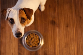 Feeding a Jack Russell Terrier kibble