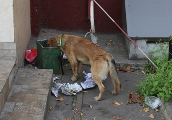 Feral dog eating rubbish out of a bin