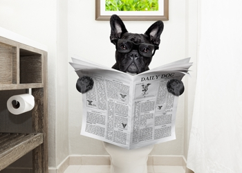 Frenchie on toilet