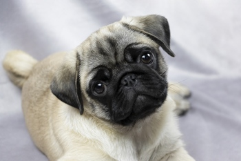 Pugs are a Brachycephalic breed