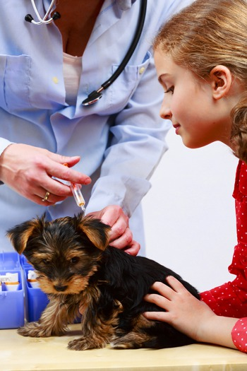 Vaccinating a Yorkshire Terrier Puppy